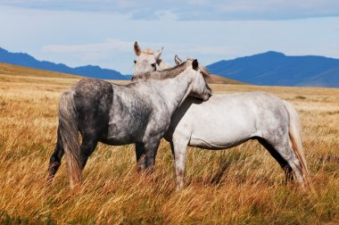 Two grey horses in mongolia
