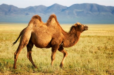 One camel in mongolia