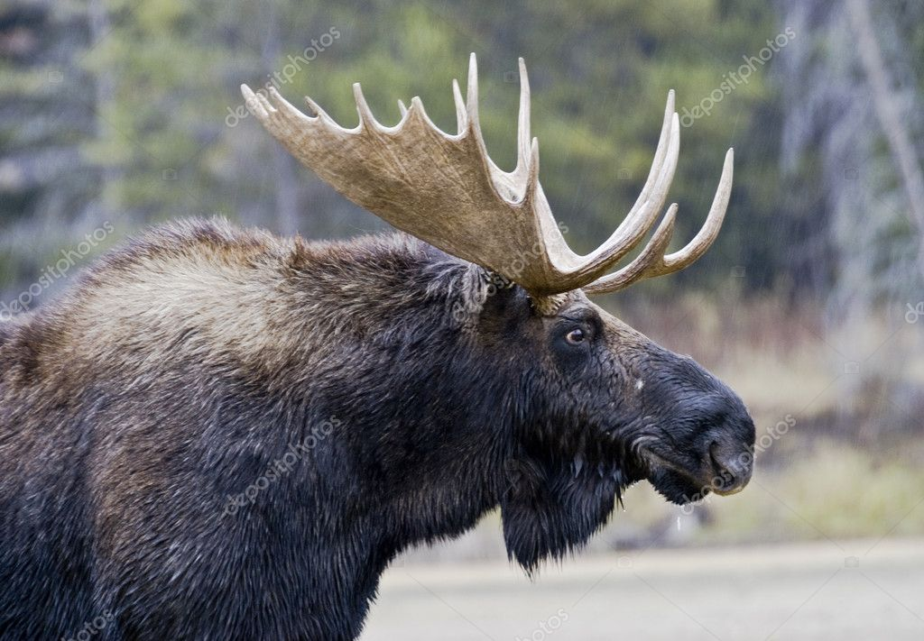 Great Moose Portrait
