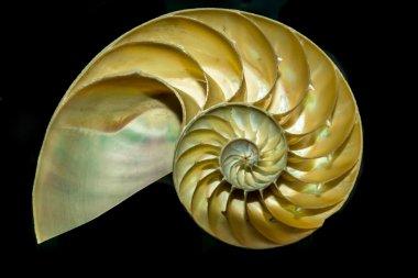 Cutaway Nautilus Sea Shell