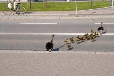 Wild goose, greylag goose (Anser anser)
