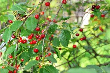 Fresh, sweet and juicily cherries on tree. stock vector