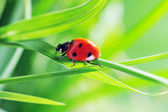 Photo Ladybug on grass