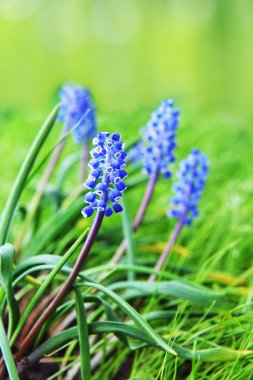 Hyacinth blue flower