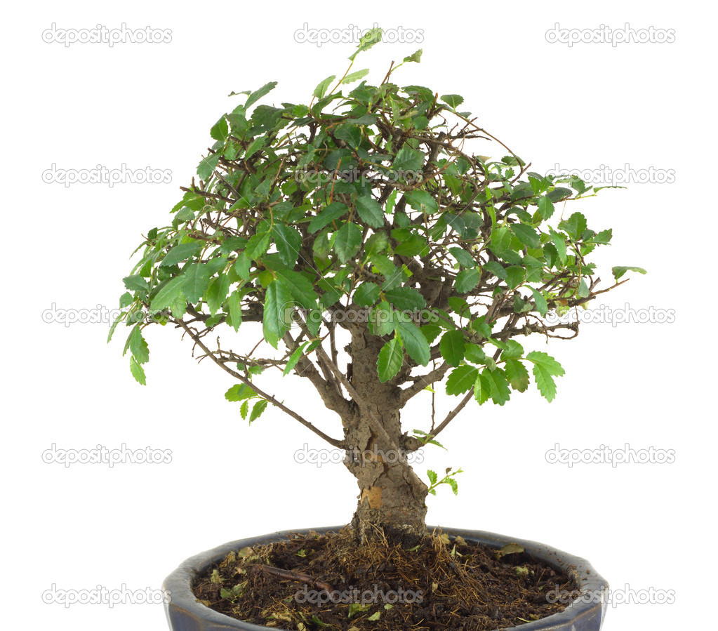 Bonsai tree isolated on white stock photo idymax 19419645 small japanese tree bonsai with many green leaves on branches in a pot isolated over white closeup photo by idymax mightylinksfo