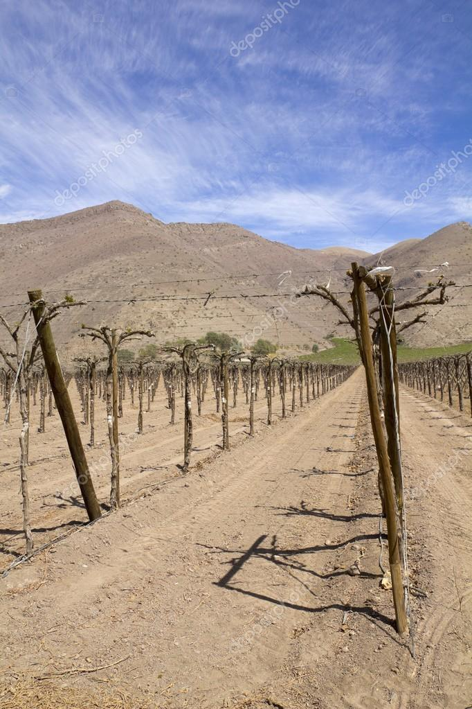 Vineyard cultivation, Andes. Chile