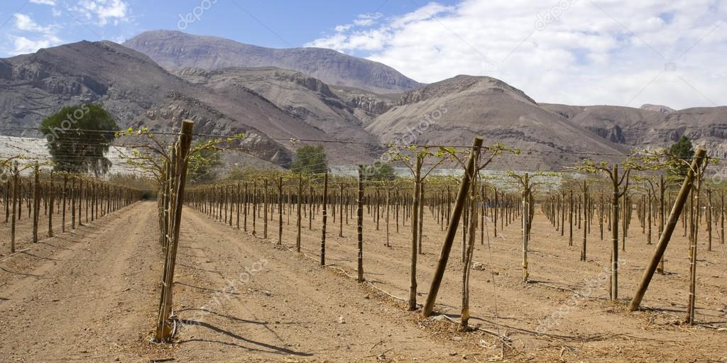 Vineyard cultivation, Chile