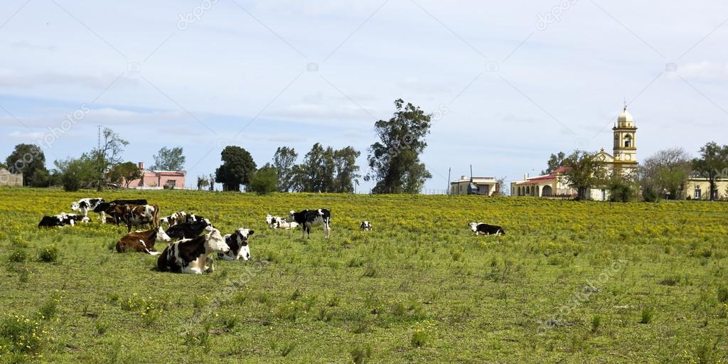Herd of cows resting in Uruguay.