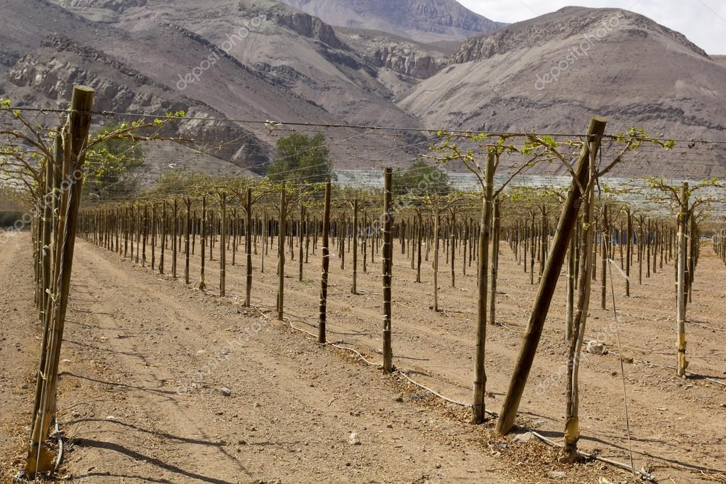 Farmland of vineyard northern desert of Chile