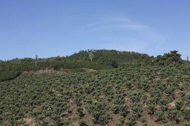 Coffee landscape, Colombia.