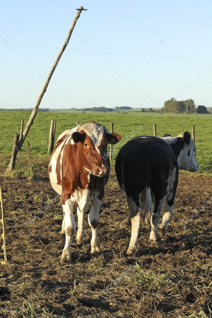 Cows in Group Latin American pampas.