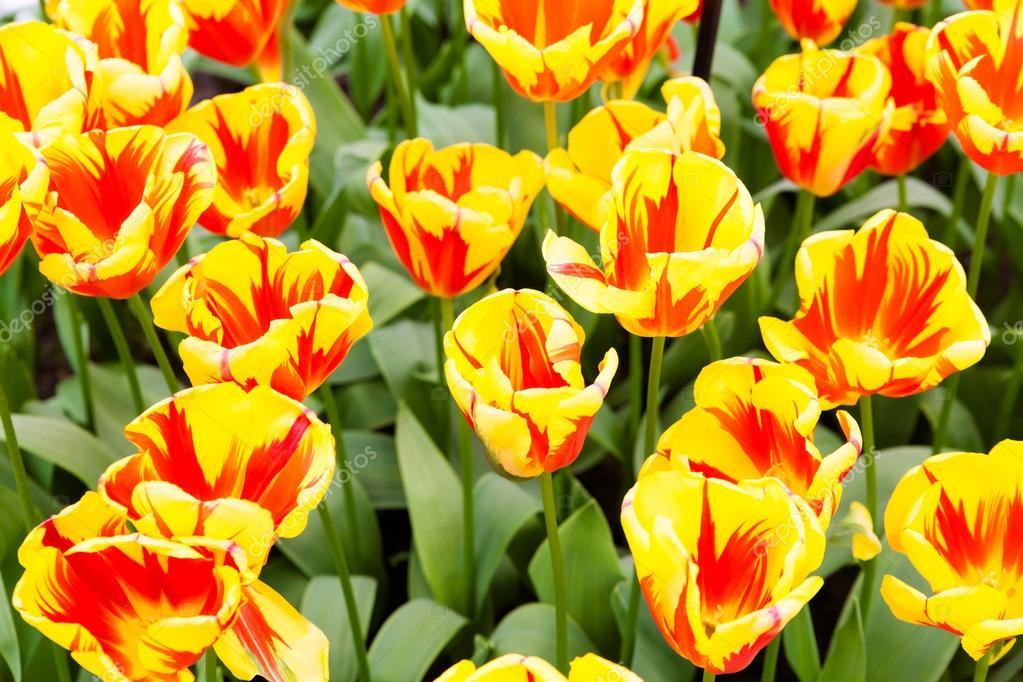 Tulipes Colorees Fleurs De Printemps Magnifique Paysage De