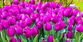 krásný jarní květiny. tulipány