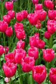 tulipani colorati. fiori di bella primavera. paesaggio primaverile
