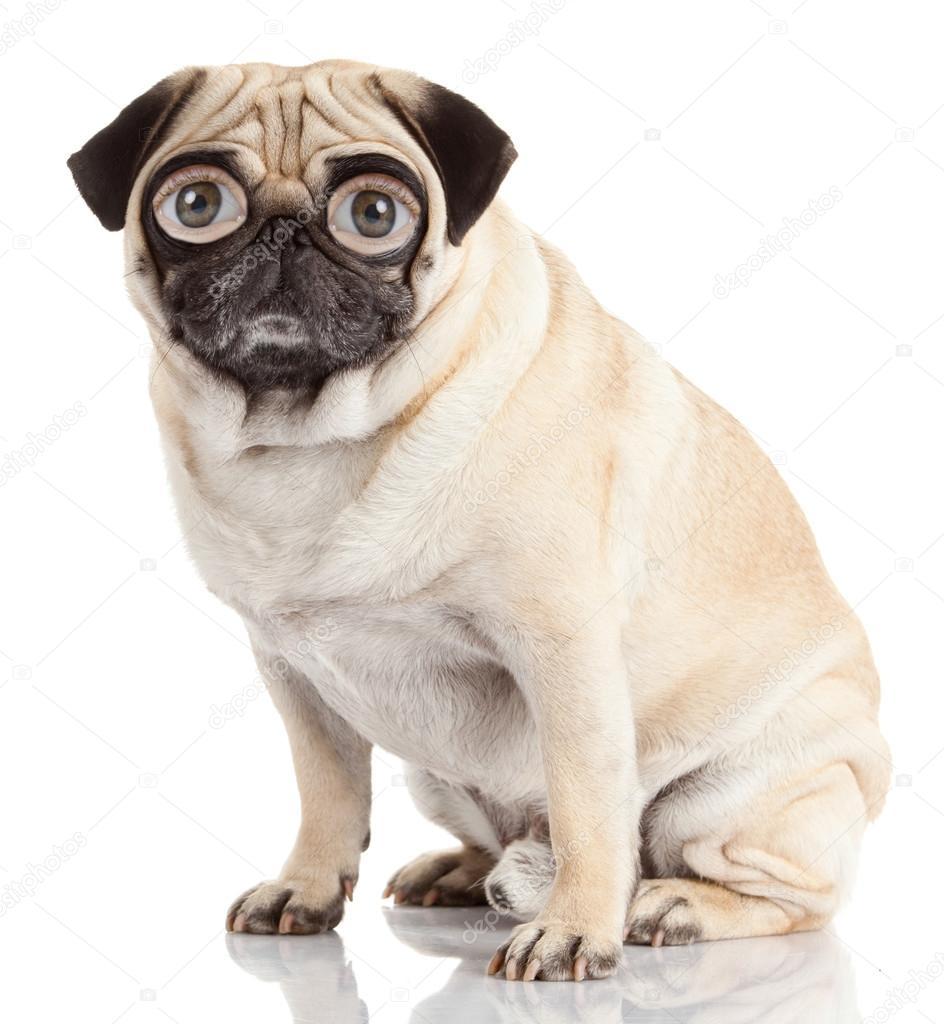 perro Pug con ojos humanos aislado sobre un fondo blanco ...