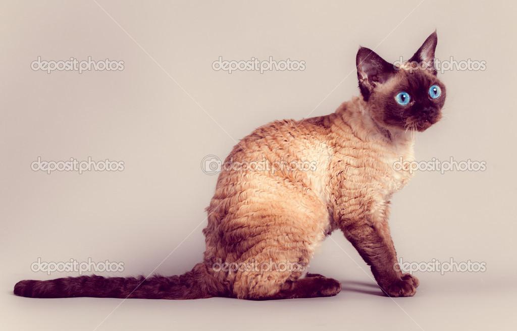 Devon Rex Kot Zdjęcie Stockowe Ewastudio 49503965