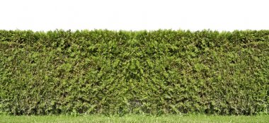 Fragment of a rural fence hedge