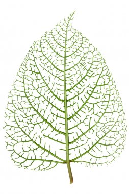 Leaf skeleton veins