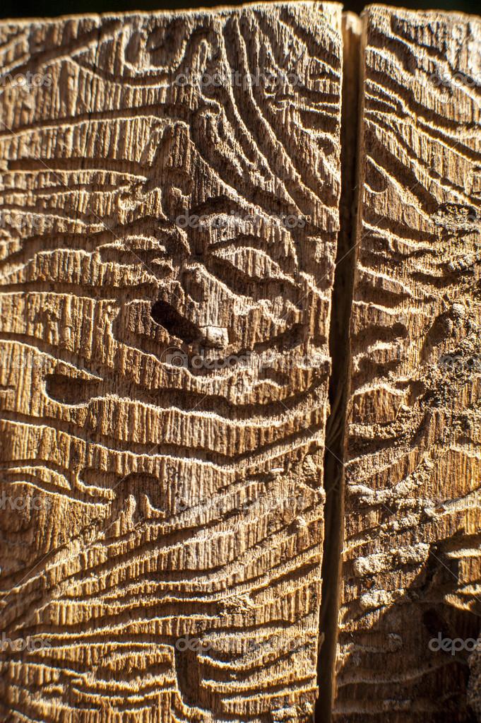 Corridors bark beetles