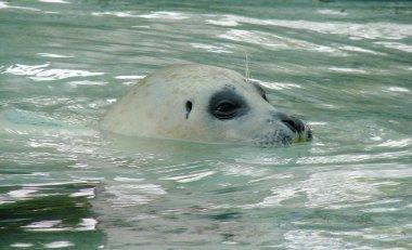 White seal swimming underwater