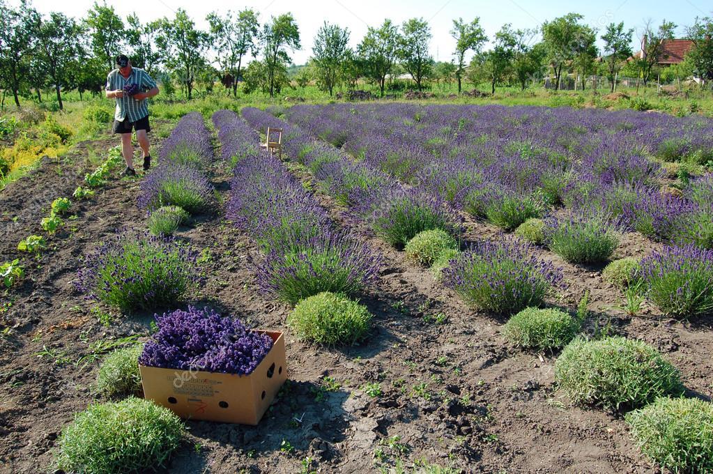 Man on lavender field