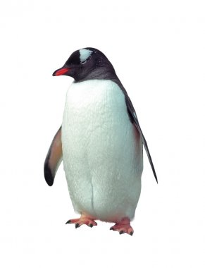 Isolated gentoo penguin
