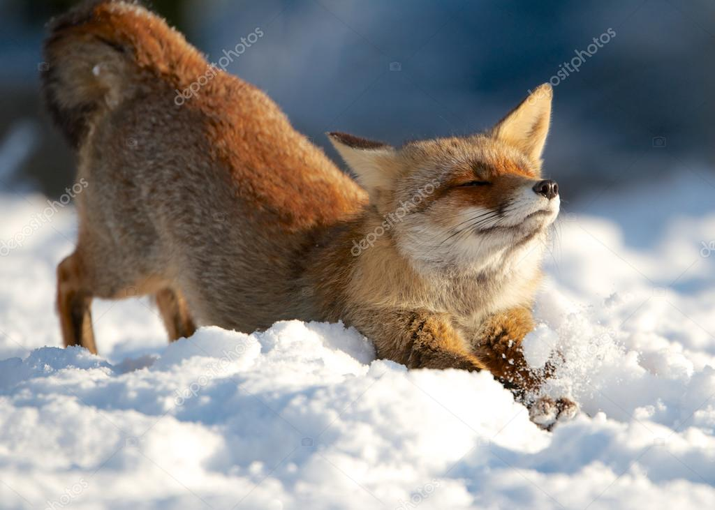Streching fox