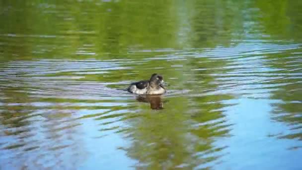 a víz kacsa
