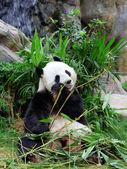 ジャイアント パンダが竹を食べる– ストック画像
