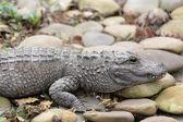 Fotografie krokodýl