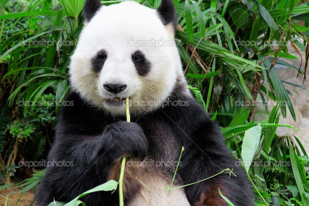 Panda Bambus Blatt Essen Stockfoto C Leungchopan 23127496
