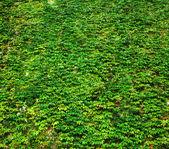 Fotografia parete di edera verde