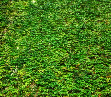 ivy green wall
