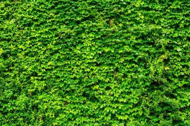 Green ivy wall