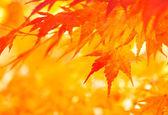 Fotografie podzimní listí javor