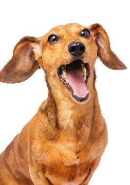 Dachshund dog yelling