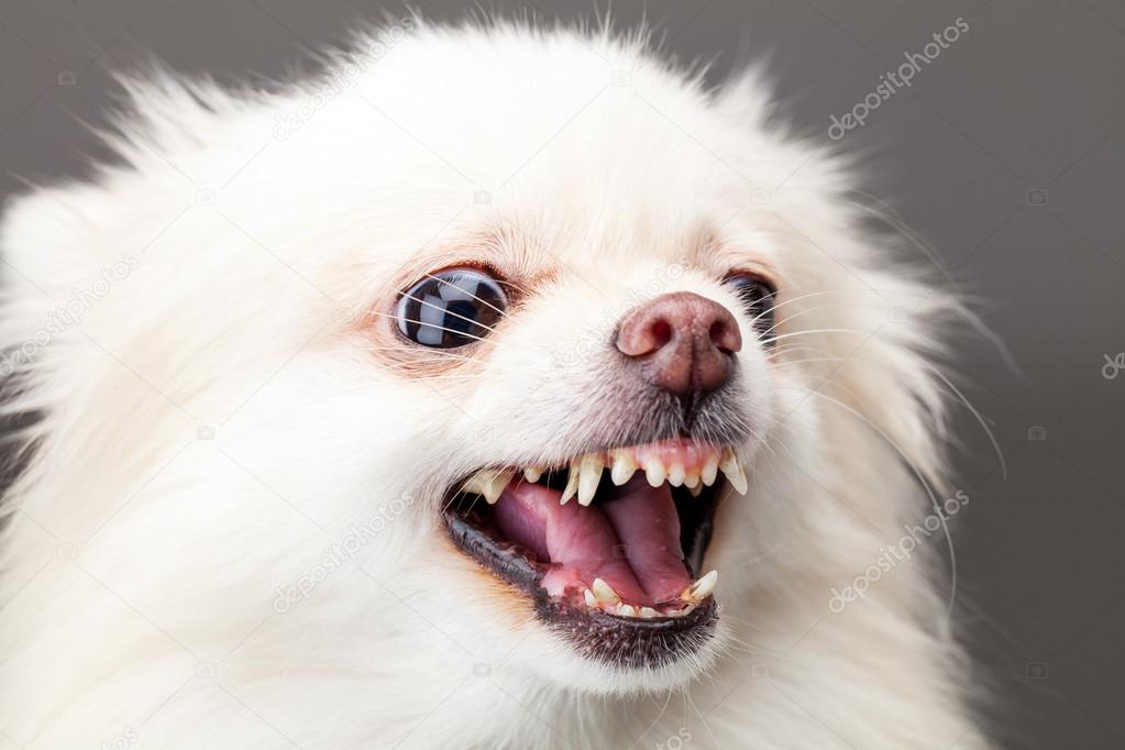 White Pomeranian Dog Barking Stock Photo C Leungchopan 40263383