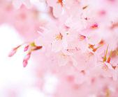 Fotografie Sakura