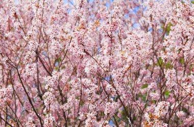 Sakura tree stock vector