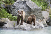 Photo Two Brown Bears Beside River