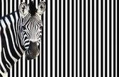 Zebra na proužkovaném pozadí