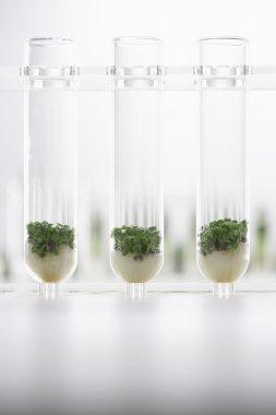 Cress seedlings growing