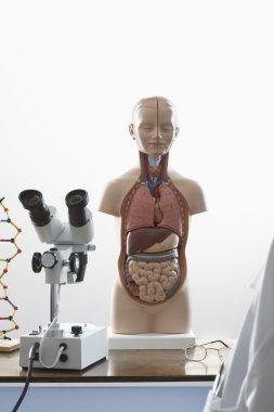 Human anatomy mode