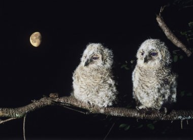 Owlets Perching on Tree Branch