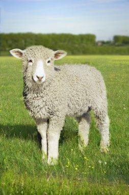 Lamb standing in green meadow