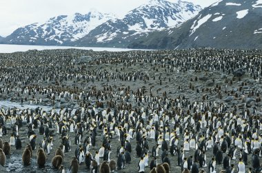 Large colony of Penguins stock vector