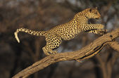 Leopard on branch