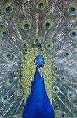 Fotografie paví peří zobrazení