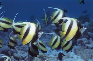 Banner Fish