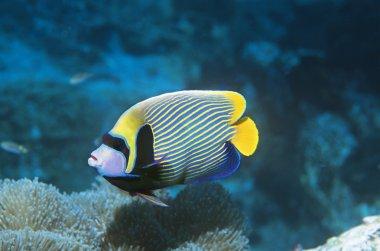Angel Fish